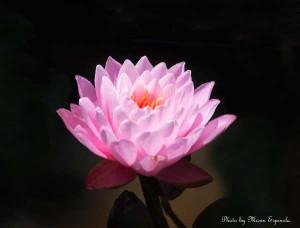 LotusWeb